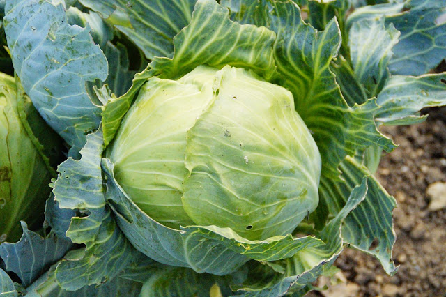 Health: How The Humble Cabbage Can Stop Cancers